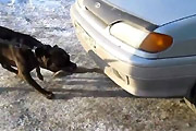 Pitbull pulls car with his mouth