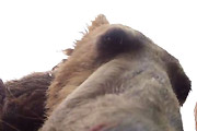 Grizzly eats camera
