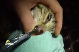 Huge Botfly In A Cat